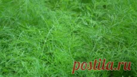 Мой метод выращивания сочного укропа без зонтика - Садоводка