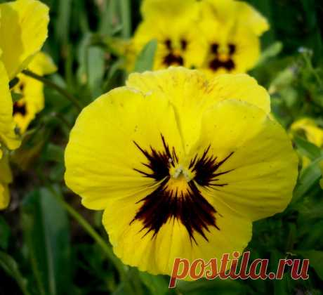 Как продлить цветение виол / Цветы / 7dach.ru