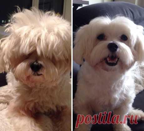 Лохматые собаки, колоссально изменившиеся после стрижки