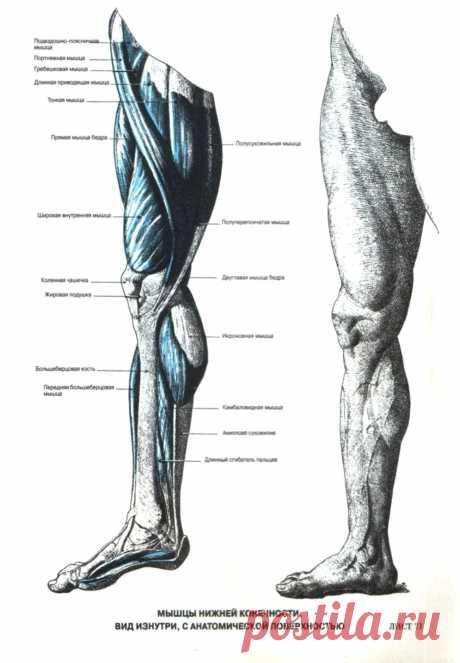 Мышцы ноги. Вид изнутри
