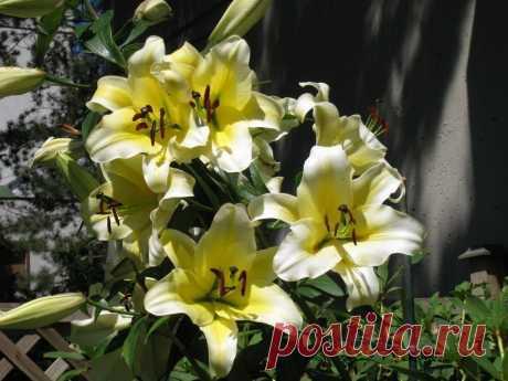 Различные классификации садовых лилий — от ботанической, до флористической. Описание, фото — Ботаничка.ru