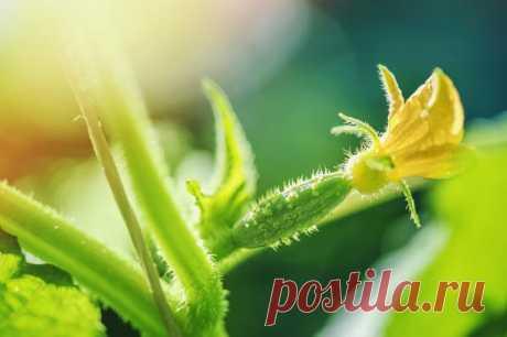 6 вопросов об огурцах: про семена, посев, формирование и предпочтения культуры