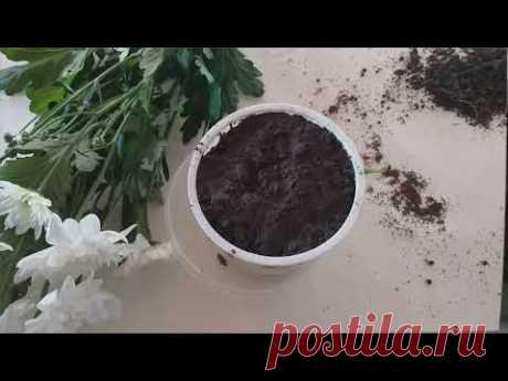Как укоренить хризантему из букета Самый легкий способ