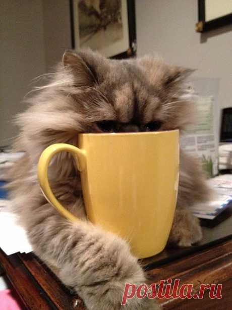 Area Cat Falls Asleep in Coffee How much coffee...