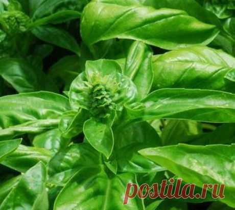 Полезные свойства листа смородины