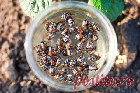 Колорадского жука теперь не боимся! Делюсь самодельным и дешёвым средством для опрыскивания картофеля!   Огородник с Брянщины!   Яндекс Дзен