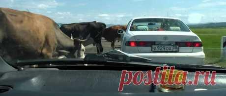 Кто виноват в ДТП с участием домашних животных (лошади/коровы)? – CARDINATOR.RU Чьё животное, тот и виноват! Нечего оставлять животное без присмотра! Именно с такими аргументами будут доказывать свою невиновность водители, сбившие животное. Но так ли это на самом деле?
