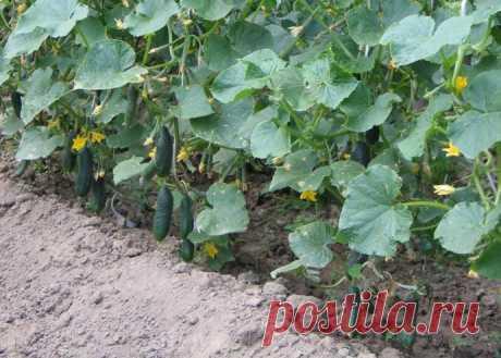 Лучшие растворы для отменного урожая огурцов