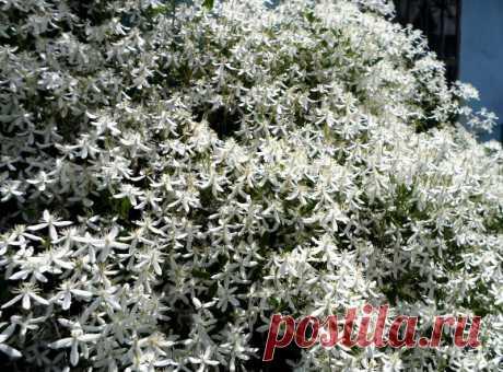Мелкоцветковый клематис - белое облако в саду. | Klumba-plus.ru | Яндекс Дзен