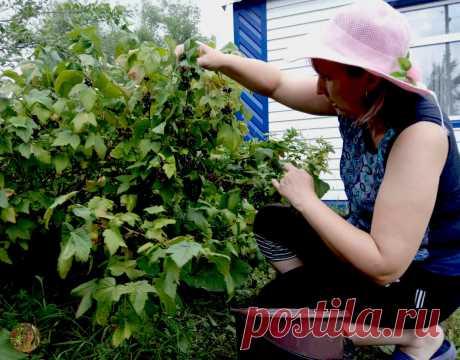 Я получаю урожай смородины раньше НА 2 НЕДЕЛИ чем у соседей. Рассказываю свой метод | 6 соток