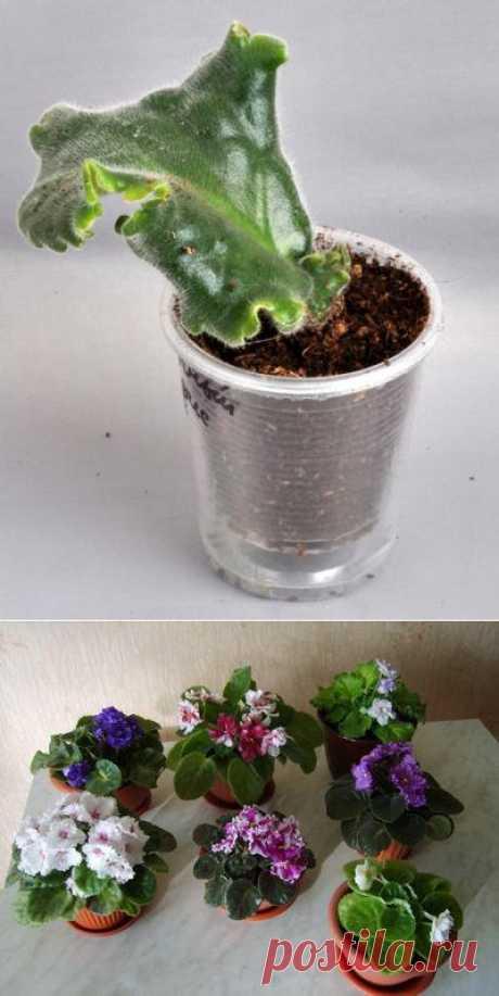 Выращиваем фиалку из листа. От листика до цветения.
