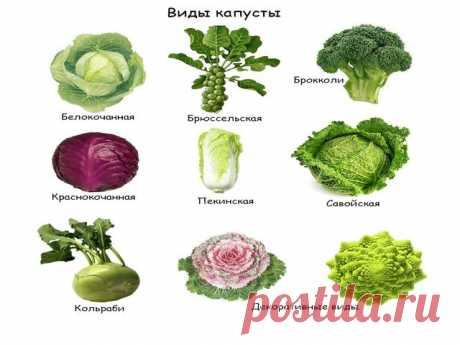 Семена капусты белокочанной, лучшие сорта для открытого грунта