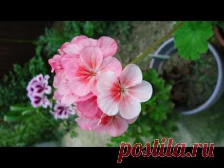 Формировка пеларгонии (герани) для обильного цветения. Шаг первый. - YouTube