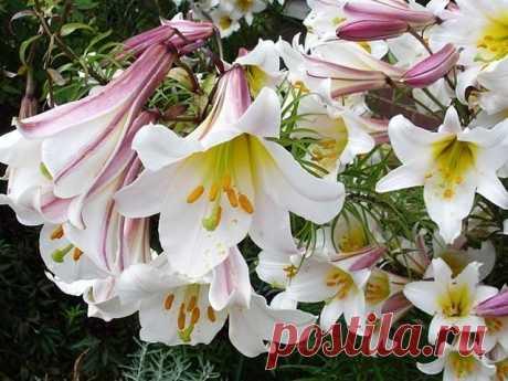 Чтобы лилии цвели пышно  Лилии украшают сады многих дачников, и это не случайно, лилия – королевский цветок. Однако, бывает так, что цветут лилии или одиночными цветками, или сами соцветия мелкие. Почему так? Опытные цветоводы говорят: «Лилии не правильно подкормили». Давайте разберемся, как правильно подкармливать.\  1. В начале июня, лилиям не хватает азота, его необходимо срочно пополнить. Для этого приготовим питательный раствор. Берем 10 литровое ведро воды и добавл...