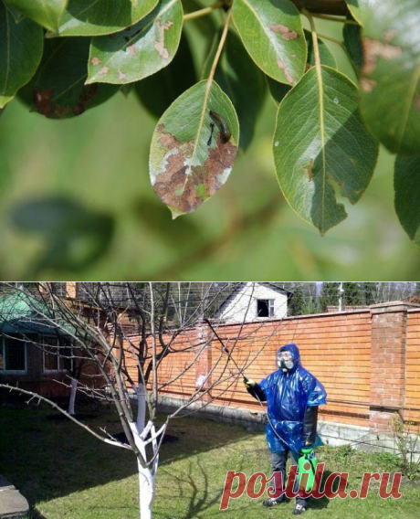 Diseases and wreckers of a pear: to find and neutralize