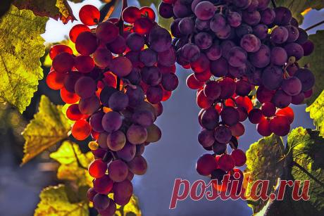 Как правильно обрезать виноград осенью: схема, правила и советы для начинающих   Антонов Сад   Яндекс Дзен