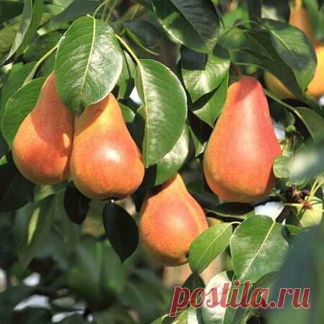 Как правильно привить грушу на яблоню весной, инструкции и видео