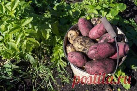 Какой картофель самый урожайный? Сравниваем 6 популярных сортов
