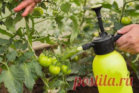 Молочная сыворотка для томатов и огурцов - универсальное средство и несомненная польза | Мое любимое подворье | Яндекс Дзен