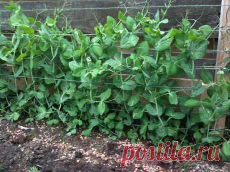 Выращивание гороха на вашей дачной грядке. Если нужен большой урожай!