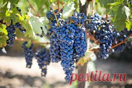 Весенние подкормки винограда, которые позволят получать обильный урожай вкусных ягод ежегодно | Счастливый крестьянин | Яндекс Дзен