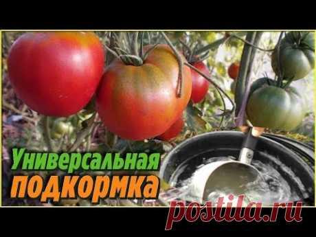 Полейте этой подкормкой томаты и получите небывалый урожай даже в неурожайные годы