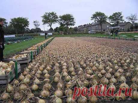 Как посадить и вырастить лук китайским способом