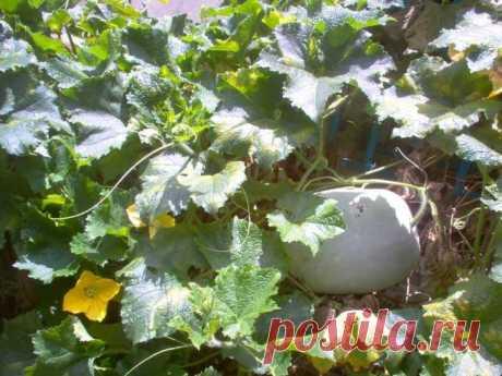Описание овоща бенинказа — особенности посадки и ухода за восковой тыквой Описание растения Бенинказа имеет множество названий. Среди садоводов растение больше известно, как «восковая дыня» или «зимняя тыква». Внешне этого низкорослое травянистое растение семейства Тыквенны...