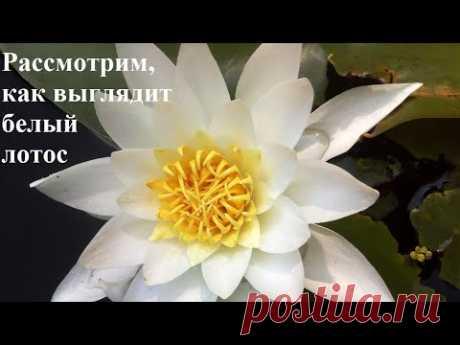 Цветок лотос. Рассмотрим, как выглядит белый лотос. Lotus flower