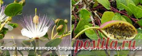 Каперсы - калорийность, полезные свойства, польза и вред, описание - www.calorizator.ru