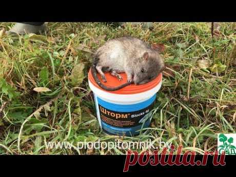 Как избавиться от мышей в саду и на даче. 100% избавление от мышей, крыс и прочих грызунов.