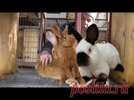 Холостое покрытие крольчих.  Обучающее видео