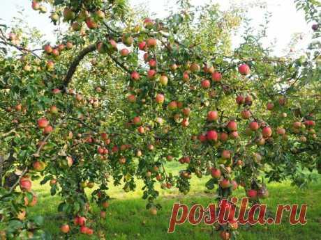 Сколько раз за лето нужно поливать плодовые деревья