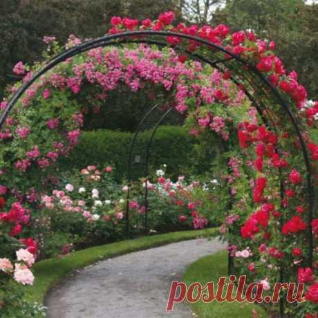 Как я делаю, чтобы розы вились по арке - тонкости ухода за цветами