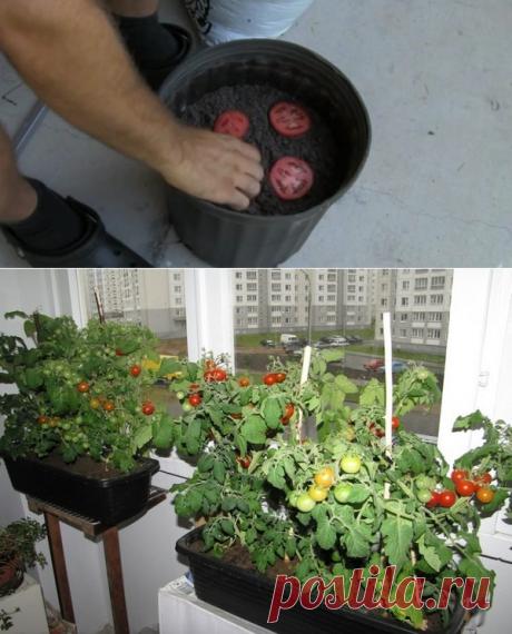 Как вырастить помидоры на балконе - полезные советы