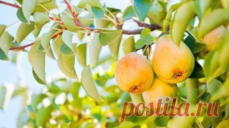 Устойчивые к болезням сорта груши | Яблоня, груша (Огород.ru)