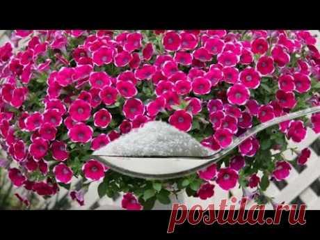 Одна ложка этого удобрения и петуния будет пышно цвести все лето!