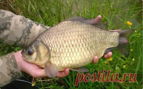 Ловля карася в больших водоемах: выбор места, снасти и прикормки – Рыбалке.нет