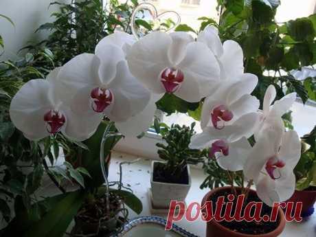 6 СЕКРЕТОВ УХОДА ЗА ТРЕБОВАТЕЛЬНОЙ ОРХИДЕЕЙ - Что приготовить на ... Освещение для домашних орхидей Освещение - основной фактор ухода за орхидеями, определяющий, будет ли ваша орхидея цвести. При недостатке света орхидее не хватит питания для нормального цикла вегетации, а при слишком интенсивном освещении растение просто сгорает.