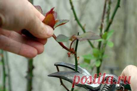 Как и чем правильно укрыть розы на зиму? - Ботаничка.ru