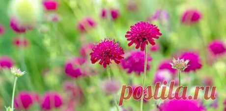 Короставник, цветок который цветет на протяжении всего лета и не требует большого внимания к себе | Огородные вести | Яндекс Дзен