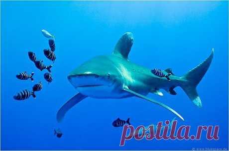 Длиннокрылая океаническая акула занесена в международную Красную Книгу.