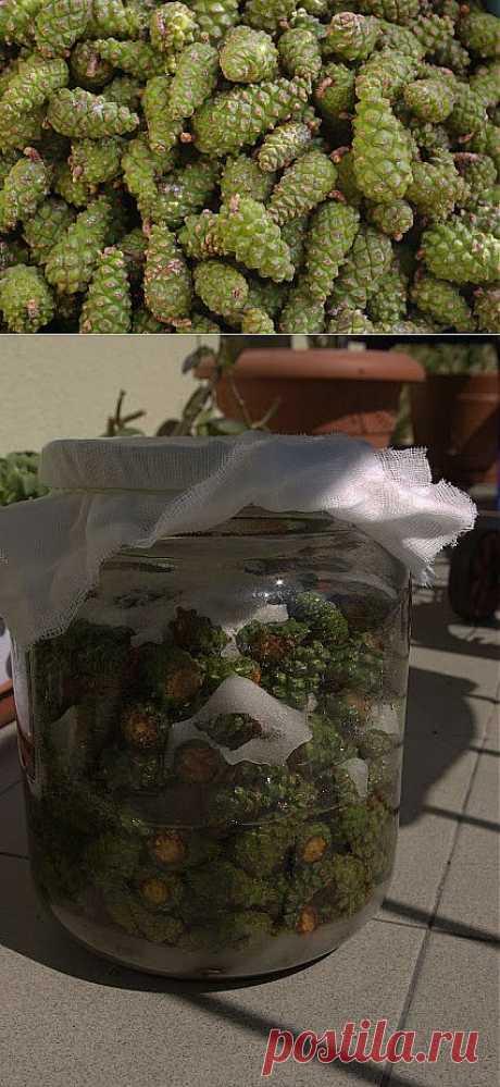 Наливка из еловых шишек - от простуды и ...единственное лекарство от инсульта!.