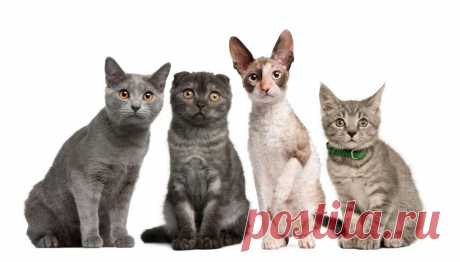 Породы кошек – список всех пород с названиями, фото, описанием | Птичка.ру Все породы кошек и котят с фотографиями, описанием характера и названиями. Узнайте, какие породы кошек существуют – полный список пород и виды домашних кошек на Птичка.ру