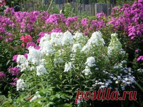 Флоксы многолетние, посадка и уход за цветами | Дача своими руками