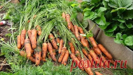 Соленая подкормка для моркови В НАЧАЛЕ ИЮЛЯ. Обеспечиваю себе ОГРОМНЫЙ урожай КАЖДЫЙ ГОД | 6 соток