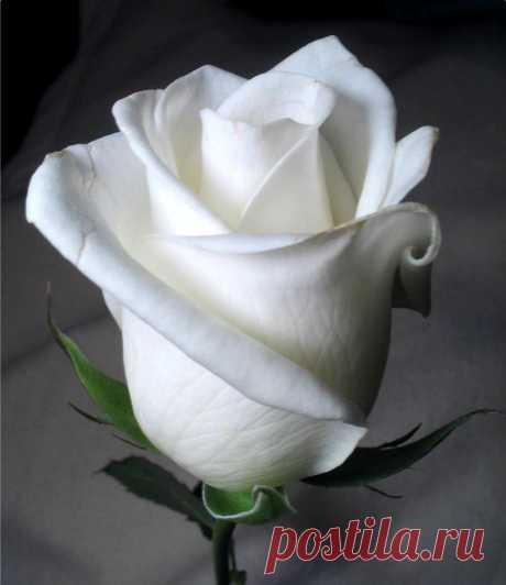 Красивые белые розы фото | Букеты белых роз фото
