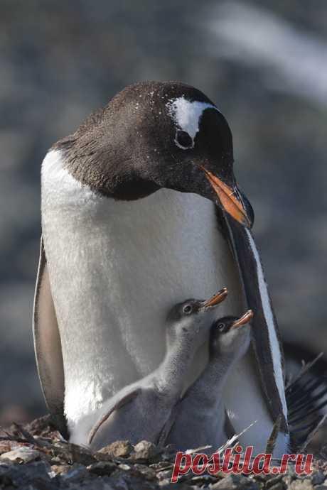 Загадки про пингвина с ответами – 35 самых лучших загадок – ladyvi.ru
