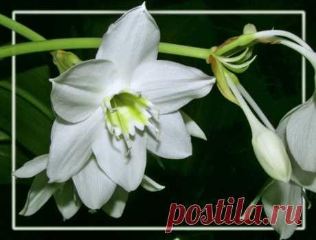 Моя амазонская лилия цветёт. Эухарис или амазонская лилия.У меня она цветёт не менее 3-х раз в году - на мой день рождения ( я  по восточному гороскопу Скорпион) на Новый год и в мае - почти перед самым летом. Может зацвести вдруг в любой другой, ведомый ей период (как в этом году вот - в августе)