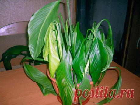 Чем подкормить Спатифиллум чтобы цвел — график внесения удобрений